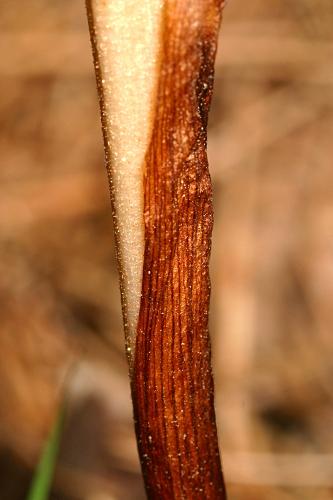 Neottia nidus-avis (L.) Rich.