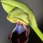 Ophrys atlantica Munby