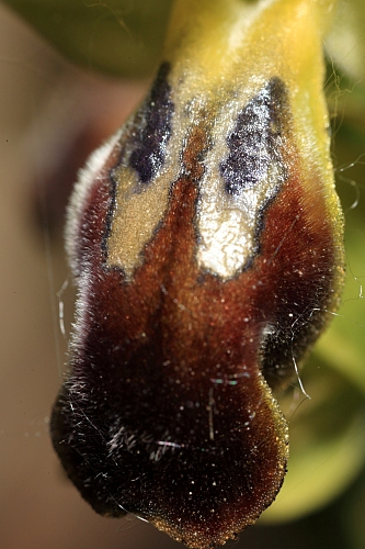 Ophrys fusca Link