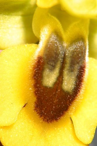 Ophrys lutea Cav.