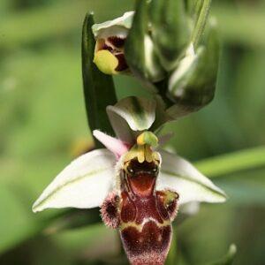 Ophrys scolopax Cav.