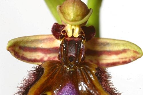 Ophrys speculum subsp. speculum Link