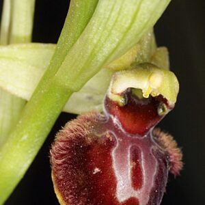 Ophrys sphegodes Mill.