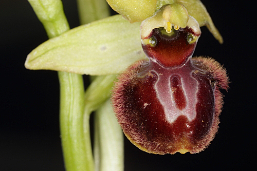 Ophrys sphegodes Mill.