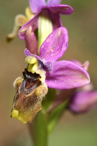 Ophrys tenthredinifera Willd.