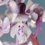 Orchis mascula L.