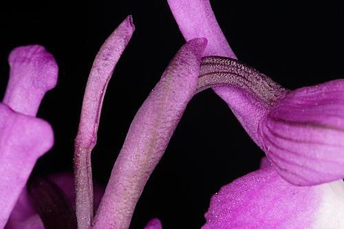 Orchis morio L.