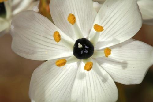 Ornithogalum arabicum L.
