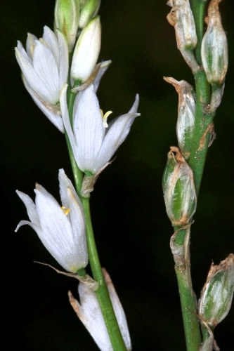 Ornithogalum conncinnum (Salisb.) Cout.