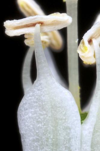 Ornithogalum narbonense L.