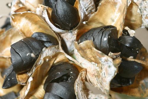 Pancratium maritimum L.