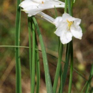 Paradisea liliastrum (L.) Bertol.