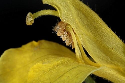 Parentucellia viscosa (L. ) Caruel