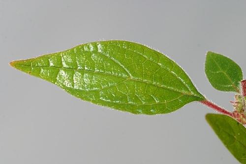 Parietaria judaica L.