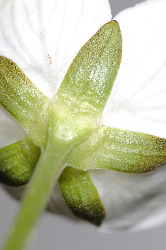 Parnassia palustris 0002