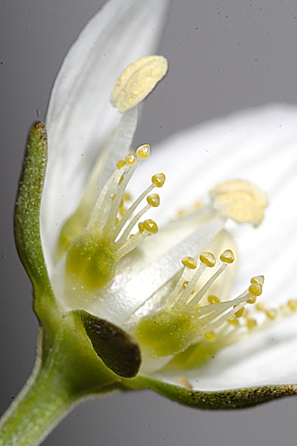 Parnassia palustris 0003