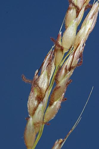 Phragmites australis (Cav.) Trin. ex Steudel