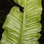 Phyllitis sagittata (DC.) Guinea & Heywood