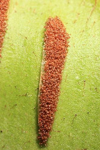 Phyllitis scolopendrium (L.) Newman