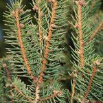 Picea abies (L.) H. Karst.