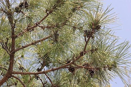 Pinus nigra subsp. salzmannii (Dunal) Franco