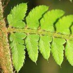 Polystichum setiferum (Forssk.) Woyn.