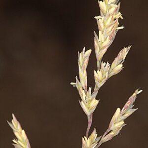 Puccinellia tenuifolia (Boiss. & Reut.) H. Lindb.