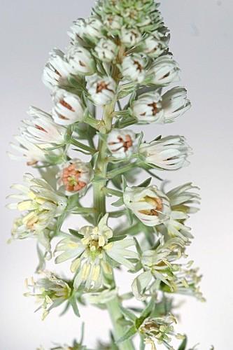 Reseda alba subsp. alba L.