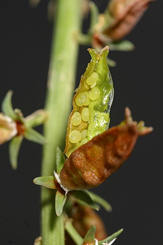 Reseda lutea subsp. lutea L.