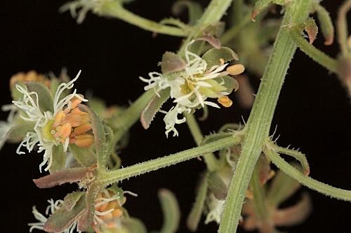 Reseda phyteuma L.