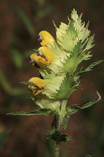 Rhinanthus pumilus subsp. pumilus (Sterneck) Pau
