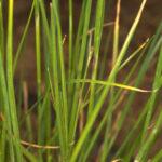 Rhynchospora modesti-lucennoi Castrov.