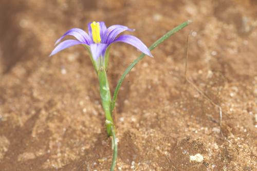 Romulea bulbocodium (L.) Sebast. & Mauri