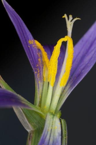 Romulea columnae Sebast. & Mauri