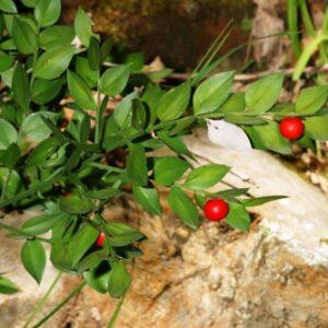 Ruscus aculeatus L.