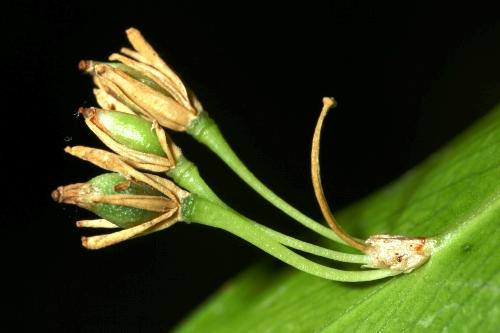 Ruscus hypophyllum L.