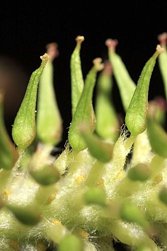 Salix atrocinerea Brot.