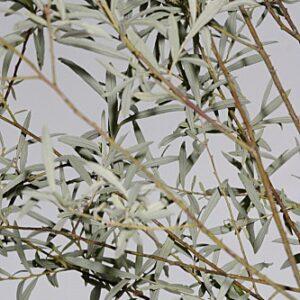 Salix eleagnos Scop.