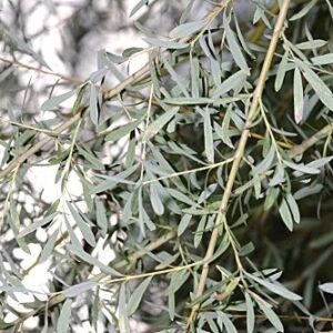 Salix purpurea L.