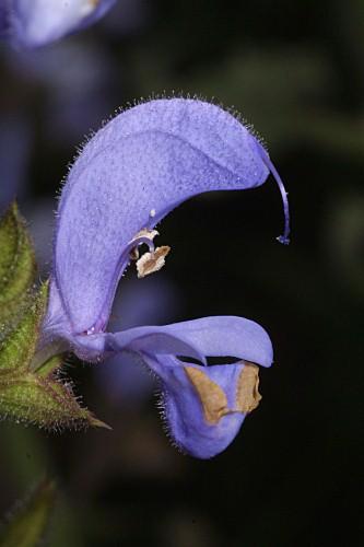 Salvia barrelieri Etl.
