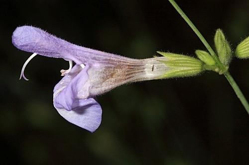 Salvia lavandulifolia subsp. blancoana (Webb & Heldr.) Rosúa & Blanca