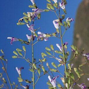 Salvia candelabrum Boiss.