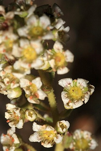 Saxifraga catalaunica Boiss. & Reut. in Boiss.