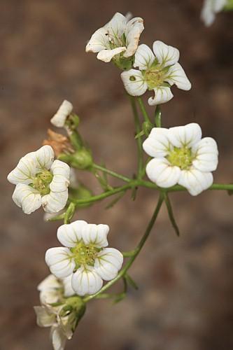 Saxifraga camposii subsp. leptophylla (Willk.) D.A. Webb