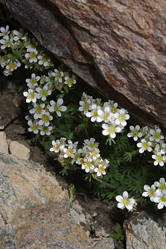 Saxifraga nevadensis Boiss.