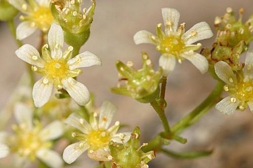 Saxifraga pentadactylis subsp. almanzorii P. Vargas