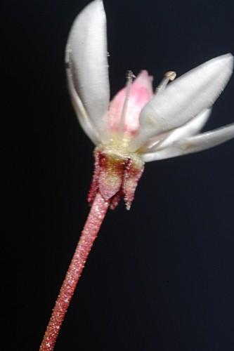 Saxifraga stellaris L.