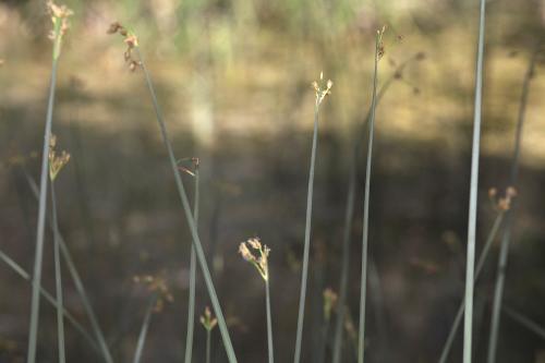 Schoenoplectus lacustris (L.) Palla