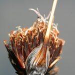 Schoenus nigricans L.
