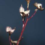 Scilla autumnalis L.